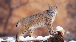 Bobcat Wallpaper