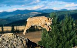 Bobcat Wallpapers Bobcat HD wallpapers