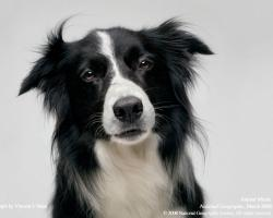 """The younger one has Border Collie ears (almost rose ears) that are short, """"wrinkled"""" and can stand up a bit... I'll take some pics tomorrow since it's over ..."""