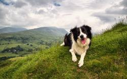Pretty Border Collie Wallpaper 43486 1920x1080 px