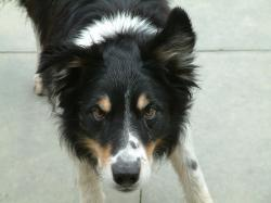 File:Border Collie tricolour black and tan.jpg