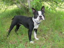 ... Boston Terrier ...