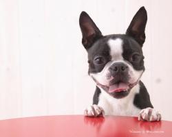 Cute Boston Terrier Puppies Wallpaper
