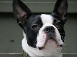 Boston terrier is looking proud wallpaper