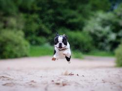 Free Boston Terrier Wallpaper