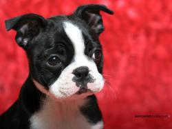 Dogs Boston Terrier puppy