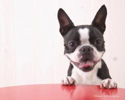 Cute Boston Terrier Puppies Wallpaper