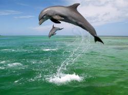 bottle nosed dolphin wallpapers. Download Bottlenose ...