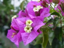 File:Bougainvillea glabra.JPG