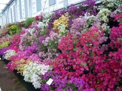 bougainvillea garden design