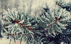 Branch Tree Needles Winter Snowfall Nature