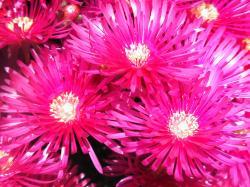 ... Hot Pink Flowers | by Yvonne Warneke