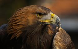 HD Wallpaper | Background ID:238838. 1920x1200 Animal Eagle