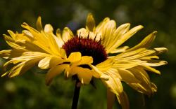 Brown eyed susan flower