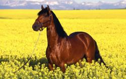 Seal Brown Horse Wallpapers Free Picture