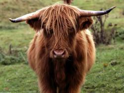 digital bull and rider powerfull bull picture scotland bull photo