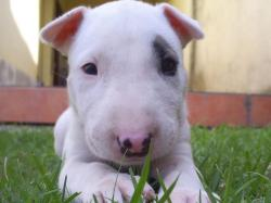 Cute puppy of white bull terrier wallpaper