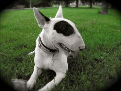 Bull terrier laying wallpaper