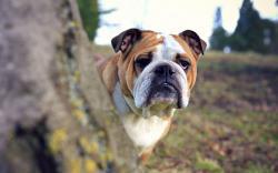 Bulldog Wallpaper