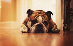 Bulldog Floor