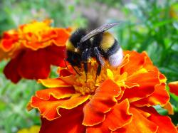 bumblebee collects pollen from a marigold flower in this file photo .