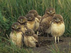 ... burrowing owls | Gypsified ...