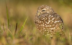 Burrowing Owl Bird HD Wallpaper