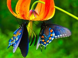 Please check our latest hd wallpaper widescreen below and bring beauty to your desktop. Butterflies HD Wallpapers