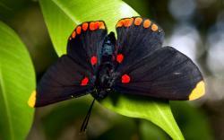 Black Butterfly Wallpaper in 1920x1200 Widescreen