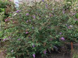 Tips For Transplanting A Butterfly Bush ...
