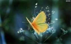 ... Yellow Butterfly Wallpaper 01 ...