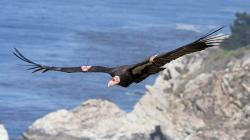 Endangered California Condors to Be Released on Camera Tuesday