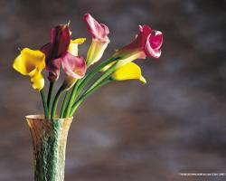 HD Wallpapers Colorful Calla Lilies