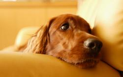 Calm dog Wallpapers Pictures Photos Images. «