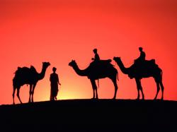 asian camels picture ...