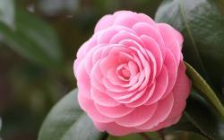 Camellia hd