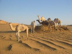 Camels Sahara Desert Affrica photos, wallpapers
