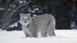 canadian lynx wallpaper