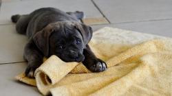 Dogs Cane Corso Animals