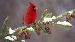 Download Winter Cardinal Wallpaper :