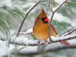 ... top 10 Northern Cardinal Desktop Wallpapers. These free downloadable wallpapers are HD and available varying range of sizes and resolutions.