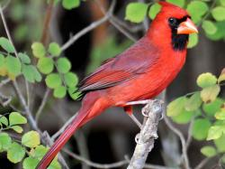 Northern Cardinal Hd Wallpapers