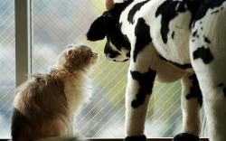 Cat a Toy Cow