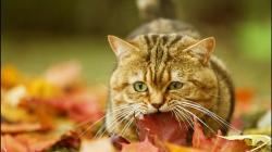 Cat in the Autumn Leaves