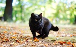 Cat Black Fall