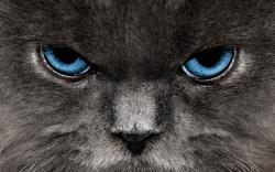 Close up Cats Wallpaper 2560x1600 Closeup, Cats, Blue, Eyes