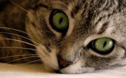 Cat Close Up Close up anima