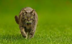 Cat Green Grass Nature
