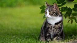 Cat outdoor Wallpaper in 1366x768 HD Resolutions
