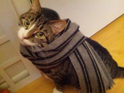 Cat in a scarf.